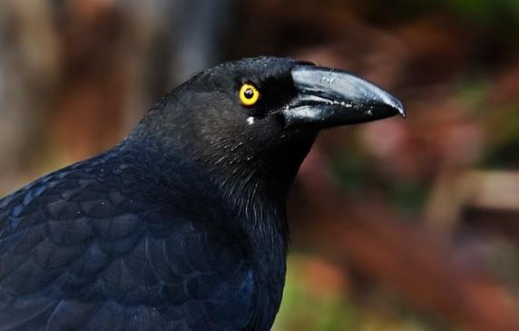 crow (3)